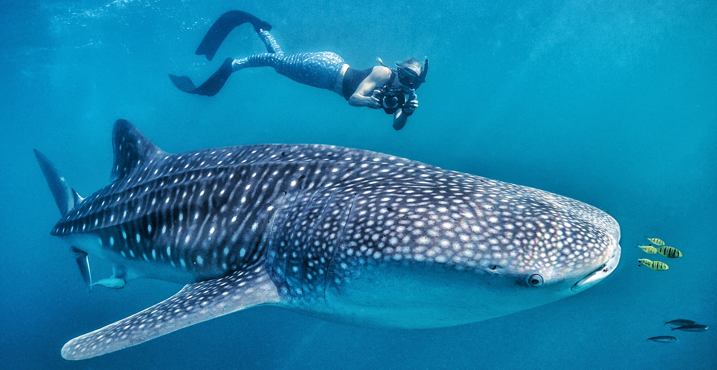 Whale Shark Ocean Safari
