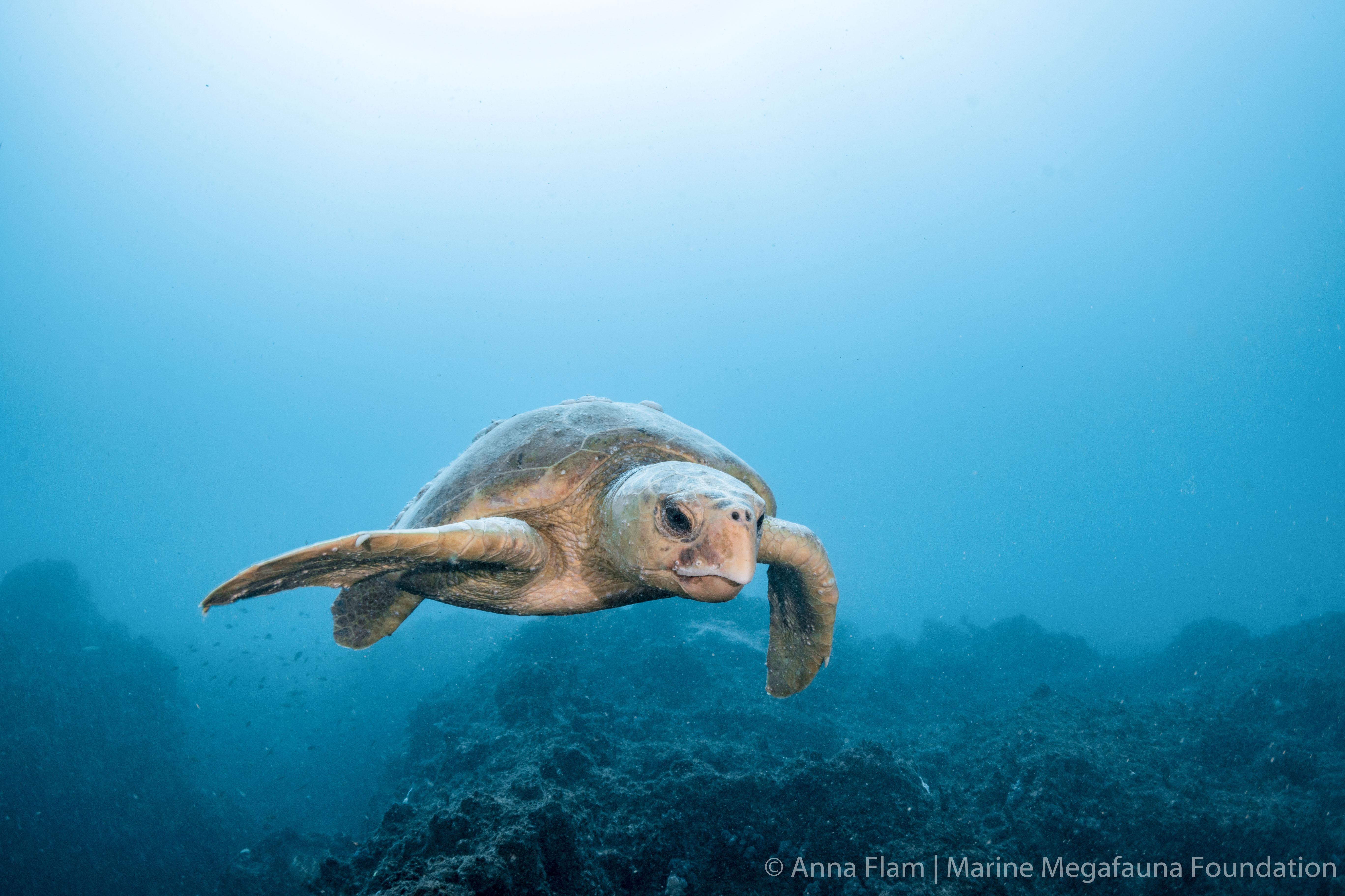 Loggerhead turtle-8124